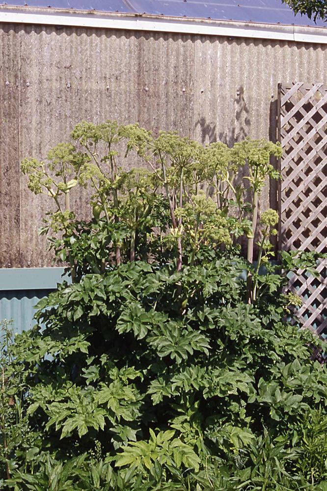 Ang lique pourpre plantes envahissantes for Plante angelique