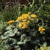 Ligularia 'Othello'-2