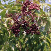 Sureau du Canada – Fruits