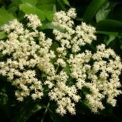 Sureau du Canada – Fleurs