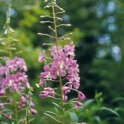 Épilobe à feuilles étroites – Fleur
