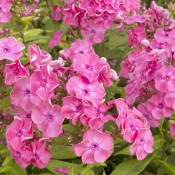 Phlox des jardins – Inflorescences