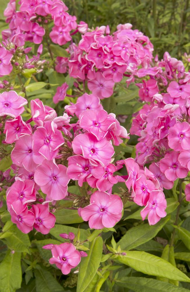 Phlox des jardins plantes envahissantes - Phlox vivace couvre sol ...