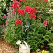 Phlox des jardins