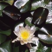Nymphea odorata