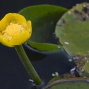 Grand nénuphar jaune – Fleur