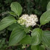 Cornouiller stolonifère – Fleurs